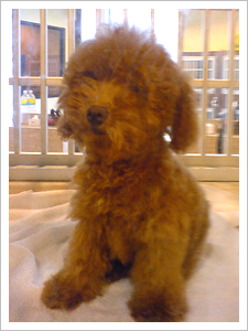 I want a toy poodle!